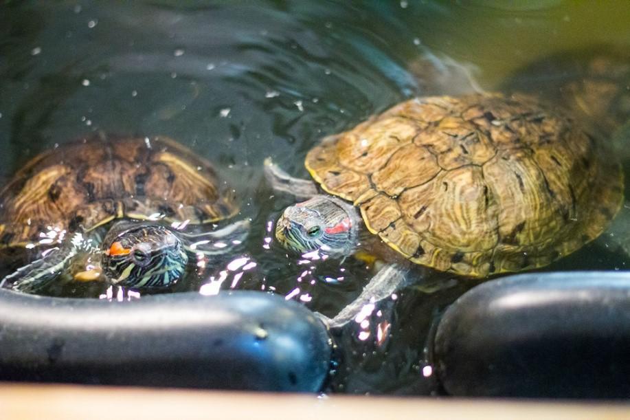 Где водятся красноухие черепахи